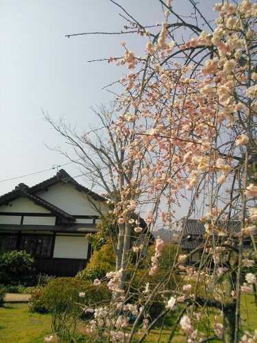 14yamatohana10(375x500).jpg