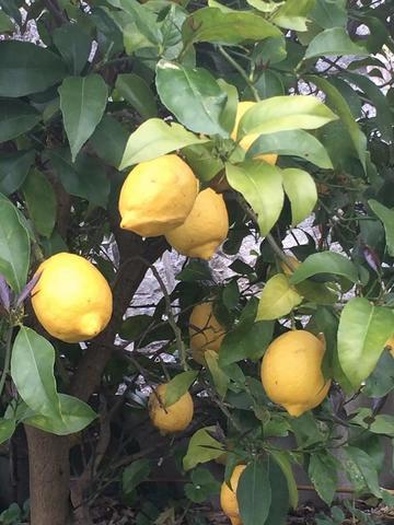 lemon160401.jpg