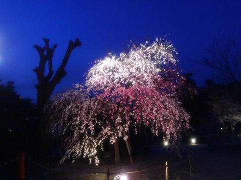 sakura_sidare.jpg